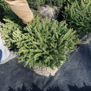 Ялина звичайна Nidiiformis 50-60 см