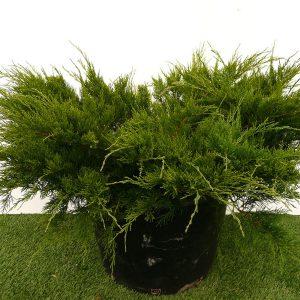 Ялівець середній Mint Julep 60-80 см