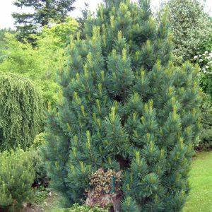 Сосна кедрова Glauca висота 100 – 120 см