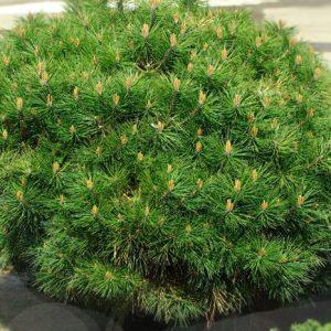 Сосна чорна Brepo ширина 80 – 100 см