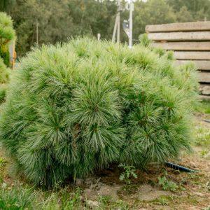 Сосна веймутова Radiata ширина 100 – 120 см