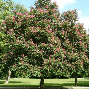Каштан кінський рожевий Briotii