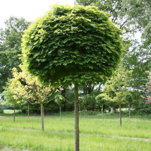 Клен гостролистий Globosum висота 250-270 см