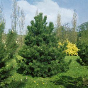 Сосна чорна Austriaca висота 175 – 200 см