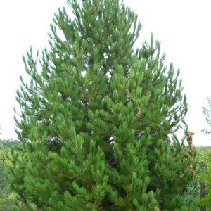 Сосна румелійська висота 150 – 175 см