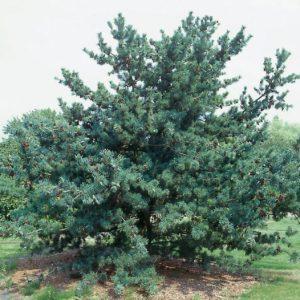 Сосна дрібноквіткова Glauca висота 200 – 220 см