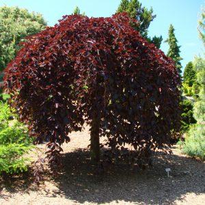 Бук лесной Purpurea Pendula