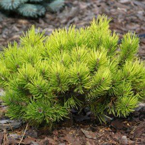 Сосна гірська Ophir ширина 30 – 40 см