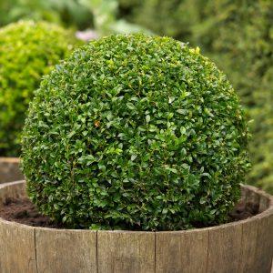 Самшит вічнозелений