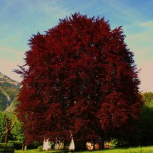 Бук лесной Атропуницея