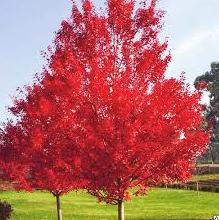 Дуб червоний