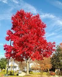 Клен красный October Glory