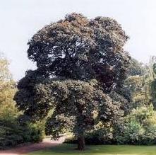 Клен ложноплатановий Atropurpureum ширина стовбура 10-12 см висота штамбу Ра 180