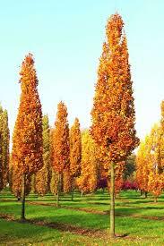 Тюльпанове дерево Фастігіата