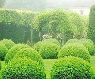 Самшит вiчнозелений куля ширина 40 – 50 см