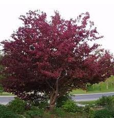 Яблуня ягідна Royalty висота 200 – 250 см