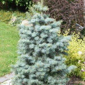 Пихта одноцветная Violacea 125-150 см