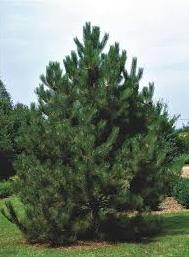 Сосна чорна Austriaca висота 100 – 120 см