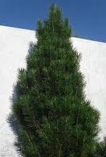 Сосна чорна Pyramidalis висота 80-100 см