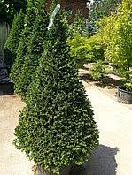 Тис ягодный конус висота 130 — 140 см