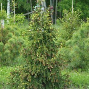 Ялина східна Aureospicata extra 200-250 см