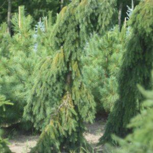 Ялина сербська Pendula 250 – 300 см